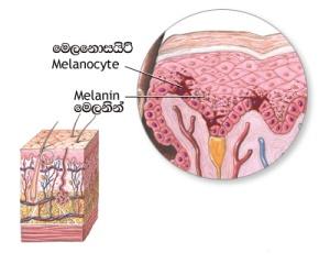 Melanocite and Melanin