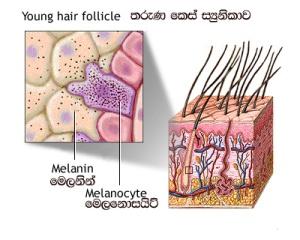 youmg hair follicle