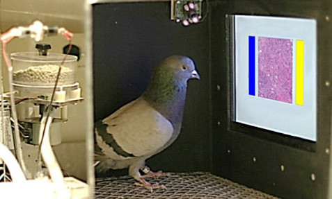 Embargoed to 1800 Wednesday November 18 BEST QUALITY AVAILABLE Undated handout photo issued by the University of California at Davis of a pigeon being trained to screen images of benign and malignant breast tissue by pecking blue or yellow choice buttons in return for a food reward. PRESS ASSOCIATION Photo. Issue date: Wednesday November 18, 2015. A study has found that with the right training, pigeons are as good as humans at spotting signs of breast cancer in biopsy samples and mammogram scans. See PA story SCIENCE Pigeons. Photo credit should read: University of Iowa/Wassermann /PA Wire NOTE TO EDITORS: This handout photo may only be used in for editorial reporting purposes for the contemporaneous illustration of events, things or the people in the image or facts mentioned in the caption. Reuse of the picture may require further permission from the copyright holder.