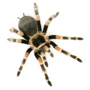 tarantula-spider-edited