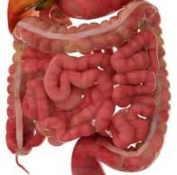 small-intestines