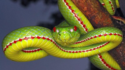 POPE'S PIT VIPER  Trimeresurus popeiorum Venomous Uncommon Generally encountered at night above an elevation of 800 metres.. Image shot 2008. Exact date unknown.