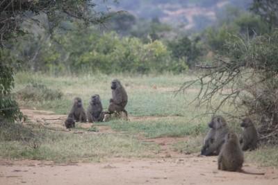 baboon_group_0