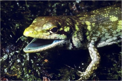 green-blooded-lizard-600x401