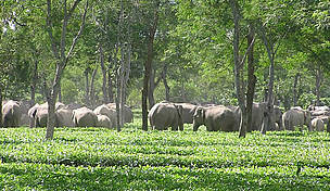 wild_eles_in_tea_356002