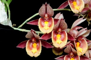 Ctsm Karen Armstrong 'Sunset Valley Orchids' HCC 76pts 20124893 l