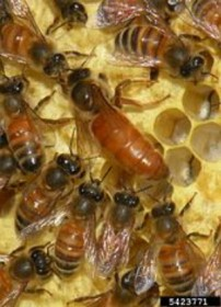 170px-apis_mellifera_queen_and_workers