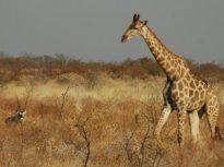 giraffe-jpg__800x600_q85_crop