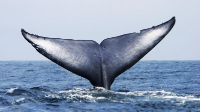 Adult Blue Whale (Balaenoptera musculus) fluke-up dive (note the notches and scars in the flukes) in the offshore waters of