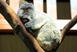 koala-1651052__340