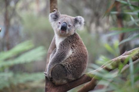 koala-226279_960_720