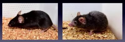 mice-with-ppl1-gene