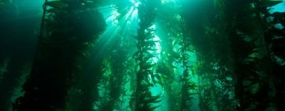kelp-forest