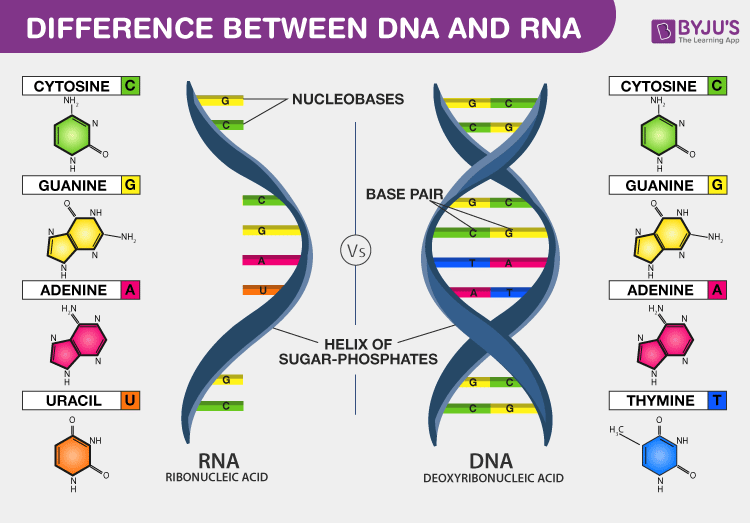 This image has an empty alt attribute; its file name is difference-between-dna-and-rna.png